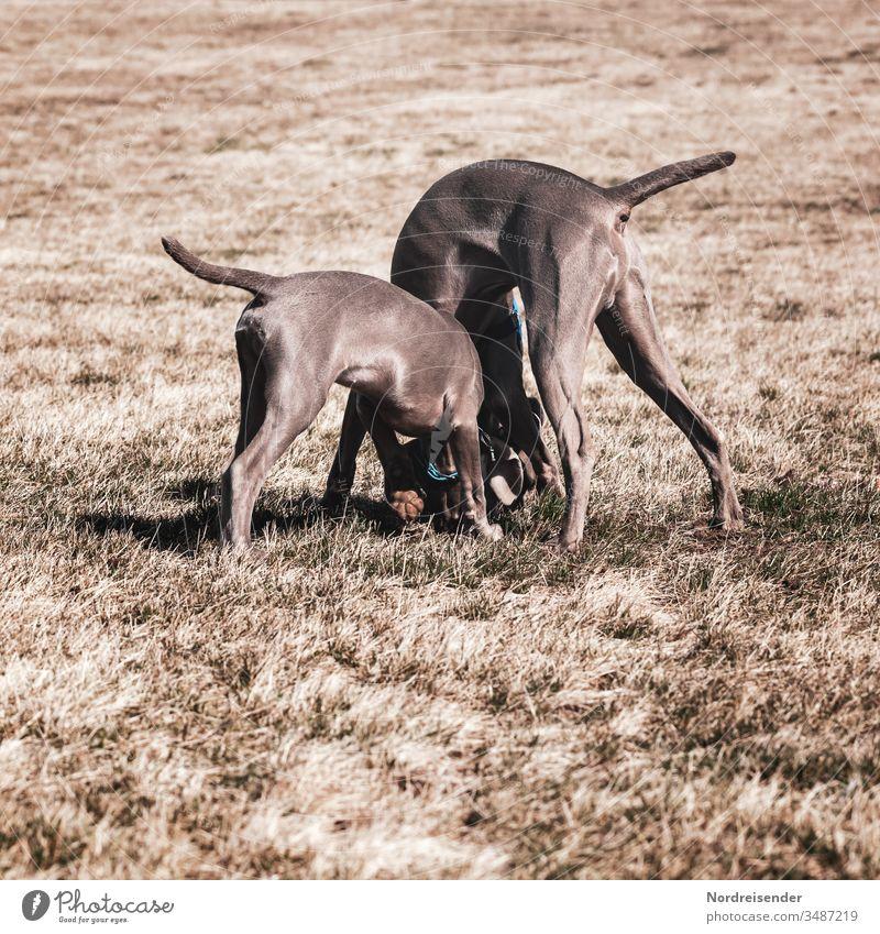 Zwei Weimaraner Jagdhunde Welpe und Junghund spielen auf einer Wiese weimaraner welpe vorsteherhund rüde haustier hübsch jagdhund portrait reinrassig zwei gras