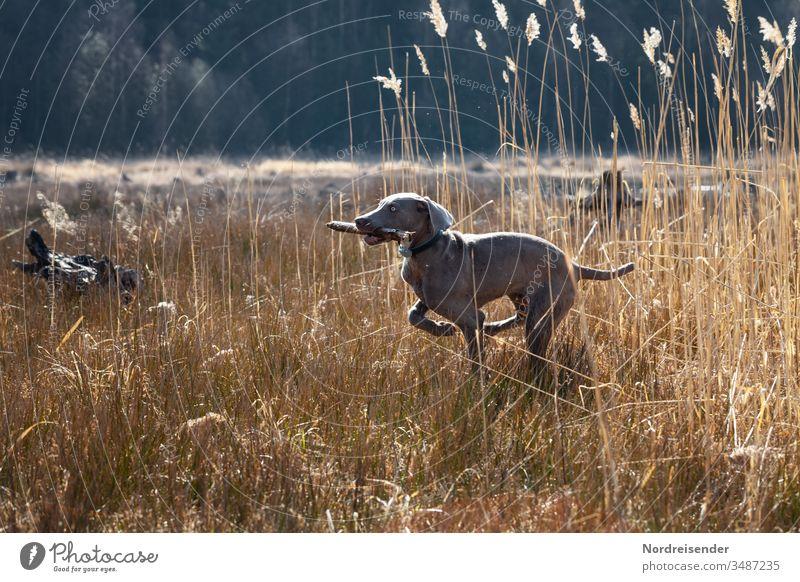 Weimaraner Welpe auf Entdeckungsreise weimaraner welpe hund haustier junghund wasser hübsch jagdhund portrait reinrassig wald gras freudig säugetier toben spaß