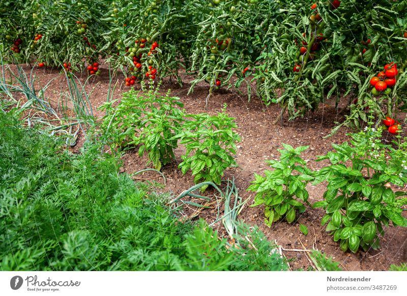 Reife Tomaten, Basilikum, Zwiebeln und Möhren auf einem Beet im Garten tomate basilikum garten ertrag möhren gemüse zwiebel frucht erde gatenerde ernte reif