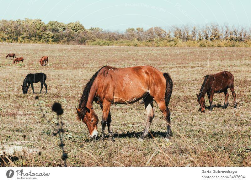 braune Pferde auf der Weide Landschaft Tier Feld Natur Bauernhof Gras Sommer Hengst jung Weidenutzung Schönheit natürlich Tierwelt pferdeähnlich wild Herbst