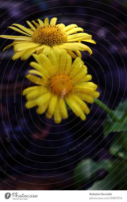 Zwei leuchtend gelbe Blüten in der Frühlingsmorgensonne. Blume Blütenblatt Pflanze gelbe Blume Frühlingsblume Blühend Blumen Natur Blütenblätter Frühblüher