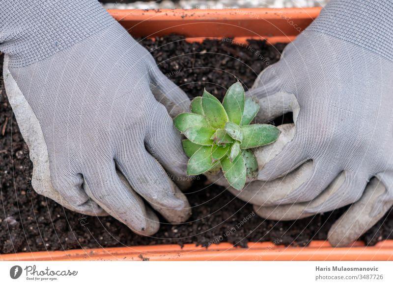 Hände pflanzen gewöhnliche Hauswurz-Pflanze im Garten Nahaufnahme, Draufsicht Botanik Pflege Farbe kultivieren kultiviert kultivierend Schmutz Erde Umwelt Gerät