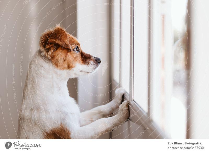 Jack Russell Hund zu Hause, der am Fenster sucht oder auf seinen Besitzer wartet. Haustiere im Haus heimwärts Warten jack russell niedlich klein im Innenbereich