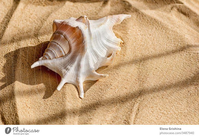 Eine schöne große Muschel liegt auf dem Meeressand. Das Konzept eines Sommerurlaubs am Meer und Reisen. Sand Schatten Handfläche Feiertag MEER Niederlassungen