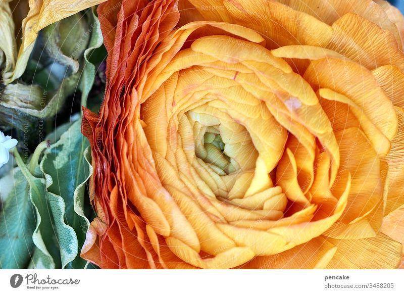 dreiklang | blumenampel Blüte verwelkt Ampel gelb Grün Dreiklang Blütenblätter Natur Detailaufnahme Nahaufnahme Makro Ranunkeln Schnittblume Macro Blume Pflanze