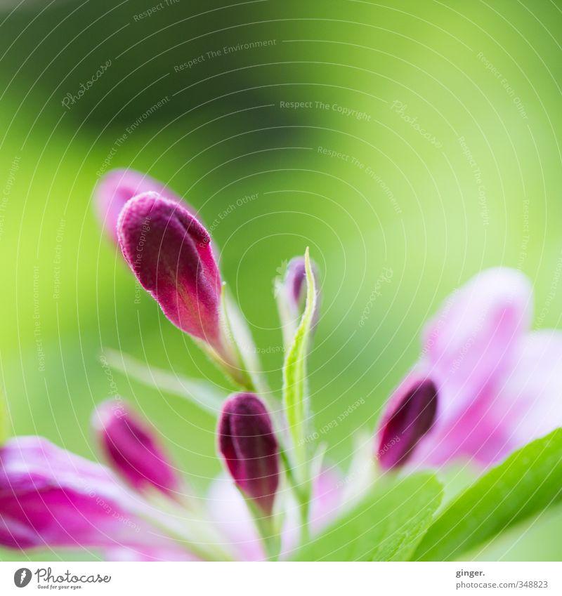 Is jetzt Früüühling? Umwelt Natur Pflanze Sonne Sonnenlicht Frühling Schönes Wetter Blume Sträucher Blatt Blüte grün hellgrün rosa purpur zart Blütenknospen