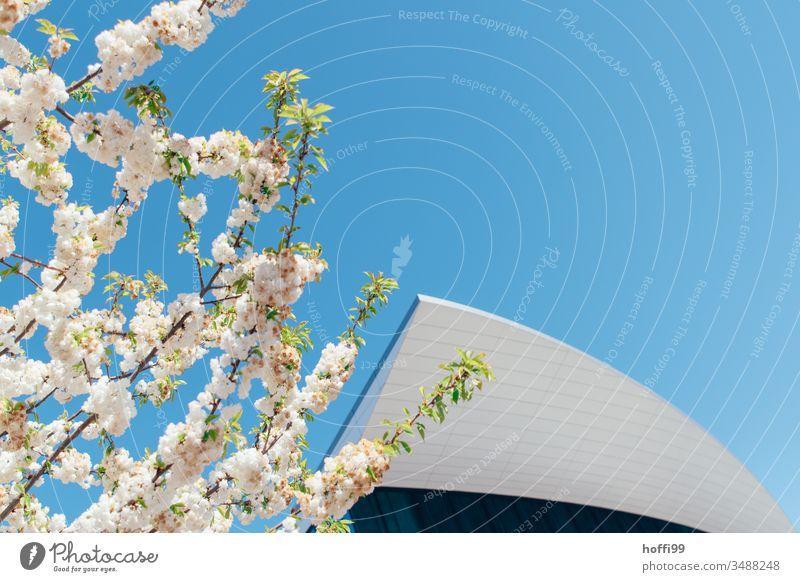 Frühlingsblüten vor moderner Fassade und blauem Himmel Frühlingsgefühle Frühlingsfarbe Blütenknospen Blütenblätter Kirschblüten Blühend Natur Pflanze