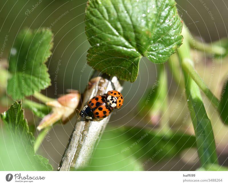 Paarung der Marienkäfer Sex Insekt Frühlingsgefühle Glück Nahaufnahme Käfer Tier Natur Makroaufnahme krabbeln kopulieren grün Pflanze Außenaufnahme