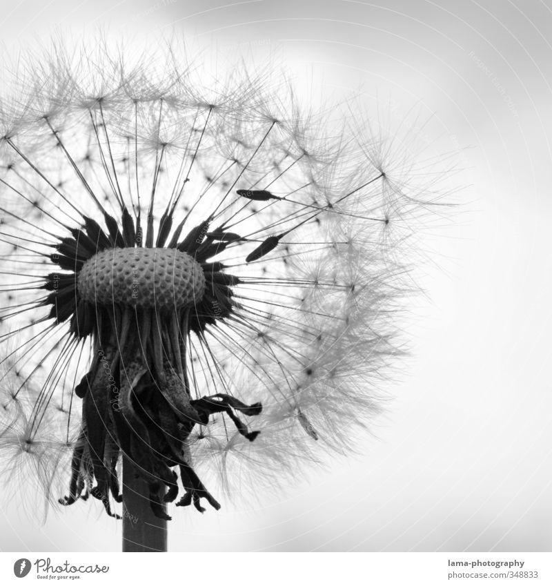Aufbruchsstimmung Natur Frühling Sommer Pflanze Blume Blüte Löwenzahn fliegen Flugkörper Schirm filigran flüchtig Feder leicht Schwarzweißfoto Außenaufnahme