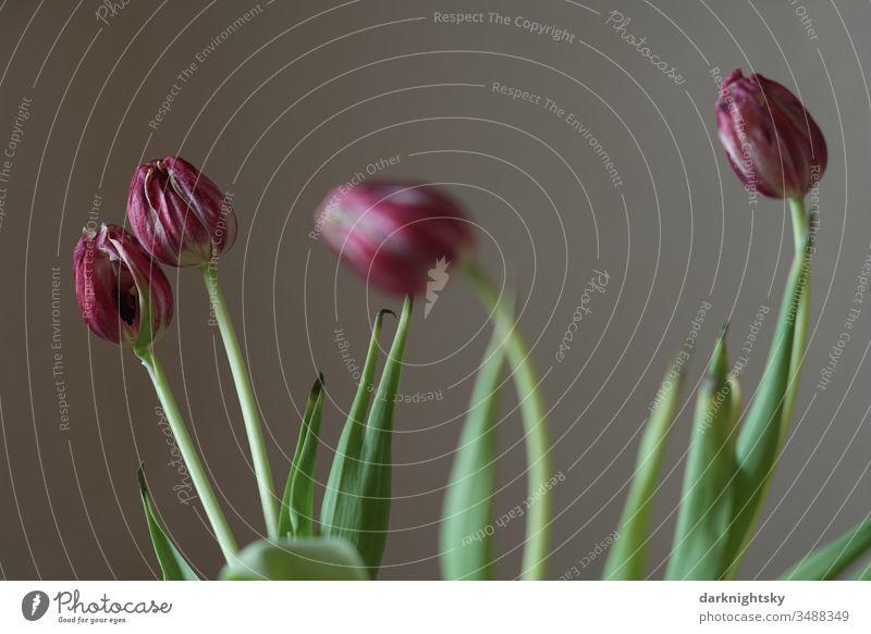 Verblühte rote Tulpen in einer Vase Ostern flora innen innenraum dekoration nach Post floral beige grün violett welk verwelkt Blumenstrauß