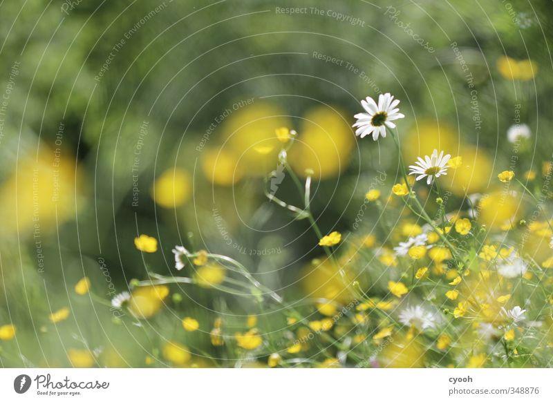 Blütensturm Natur grün weiß Sommer Pflanze Blume gelb Wiese Wärme Gras Bewegung Frühling Freiheit Garten natürlich
