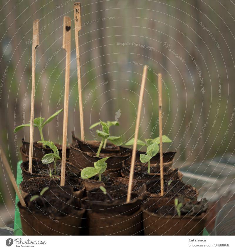 Grurken Setzlinge  wachsen empor Gurke Gartenarbeit Gurkensetzling Wachstum Anbau Natur grün Pflanze anbauen Nutzpflanze Anzucht Tag Frühling Erde Nahaufnahme
