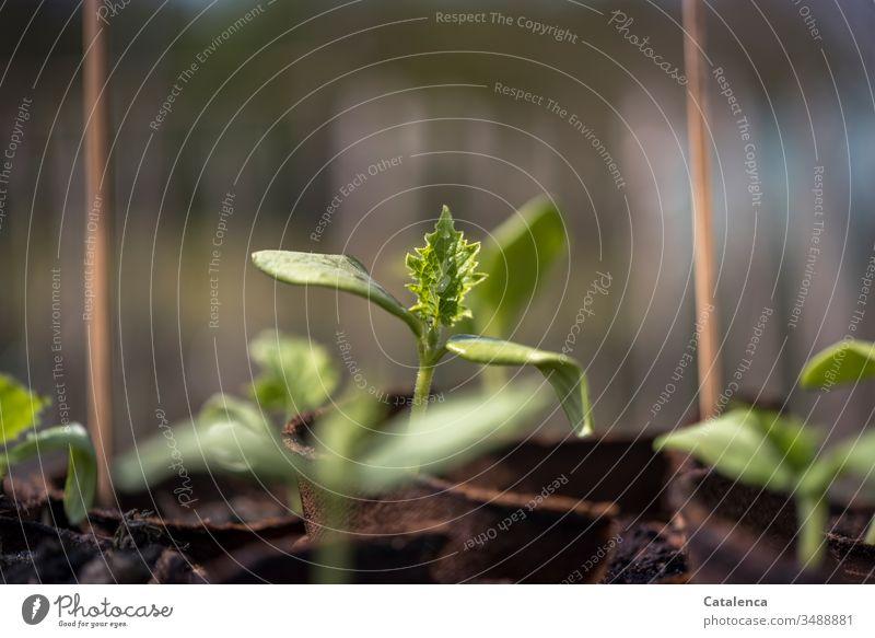 Ein Gurken Setzling wächst empor Gartenarbeit Gurkensetzling Wachstum Anbau Natur grün Pflanze anbauen Nutzpflanze Anzucht Tag Frühling Erde Nahaufnahme Blatt