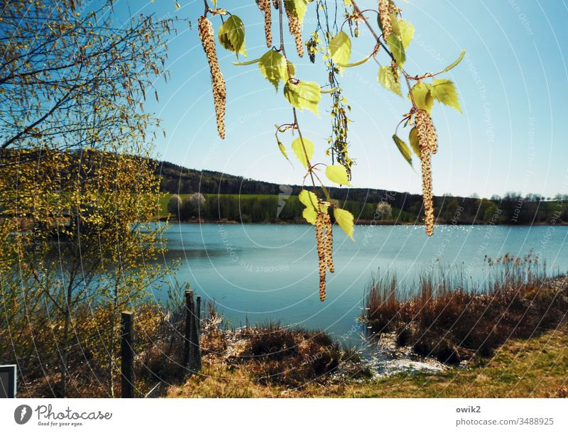 Birkenpollen Frühling Natur draußen Außenaufnahme hängen Zweige Blätter See Landschaft Farbfoto Baum Menschenleer Tag Zweige u. Äste Pflanze Umwelt Blatt