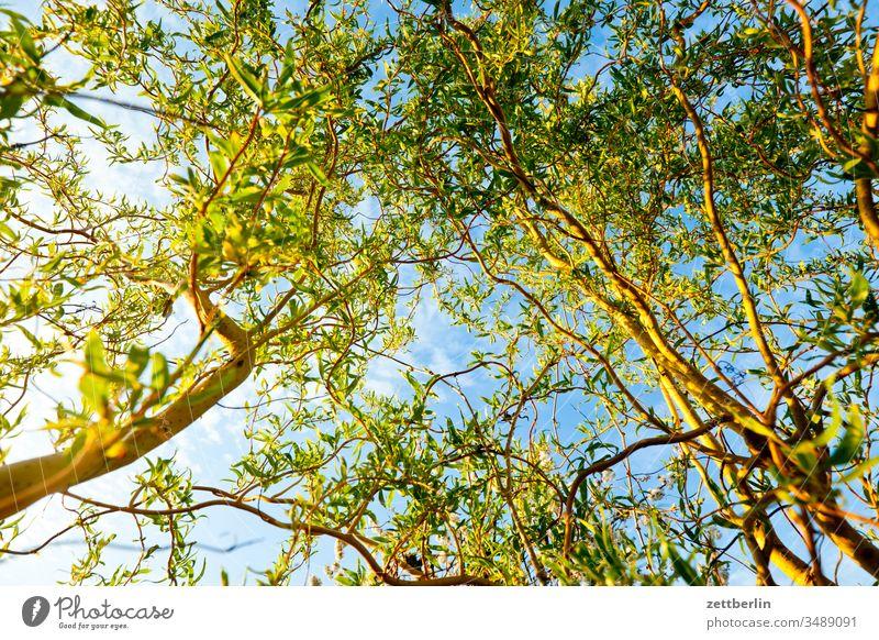 Weide aus der Froschperspektive ast baum erholung ferien frühjahr frühling garten himmel kleingarten kleingartenkolonie menschenleer natur pflanze ruhe