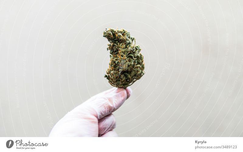 Kontrolle frischer Marihuana-Knospen in männlichen Händen. Beschneiden von medizinischem Marihuana cbd alternativ Hintergrund Blütenknospen Cannabinoide