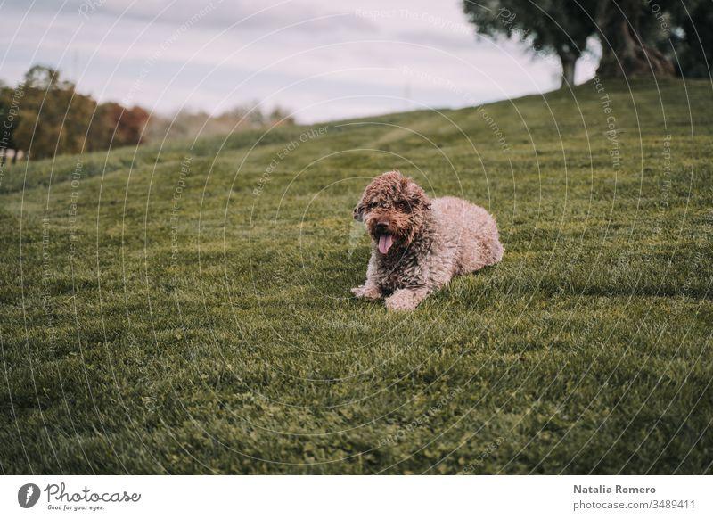 Ein wunderschöner Wasserhund liegt auf der Wiese. Er wartet auf etwas und ist sehr aufmerksam. Er hat ein schönes braunes Fell. Es ist ein bewölkter Tag. Tier