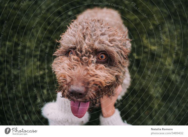 Ein wunderschöner Wasserhund sitzt auf der Wiese, während er in die Kamera schaut. Sein Besitzer streichelt ihn. Er streckt seine Zunge heraus und sieht glücklich aus.