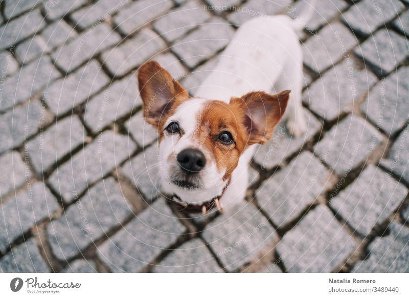 Ein wunderschöner kleiner Hund steht auf der Straße. Das Tier schaut in die Kamera. Es ist sehr aufmerksam und neugierig. Sein Gesicht ist halb braun und halb weiß.
