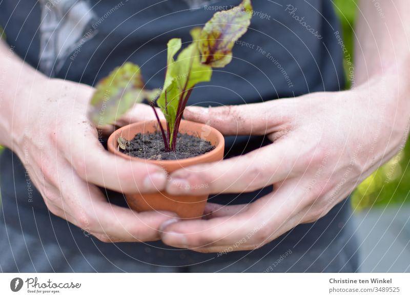 Rote Bete Pflänzchen in einem Tontopf, gehalten von einem jungen Mann Rote Bete Pflanze junges Gemüse pflanzen Beet Pflanztopf Frühling Ernährung