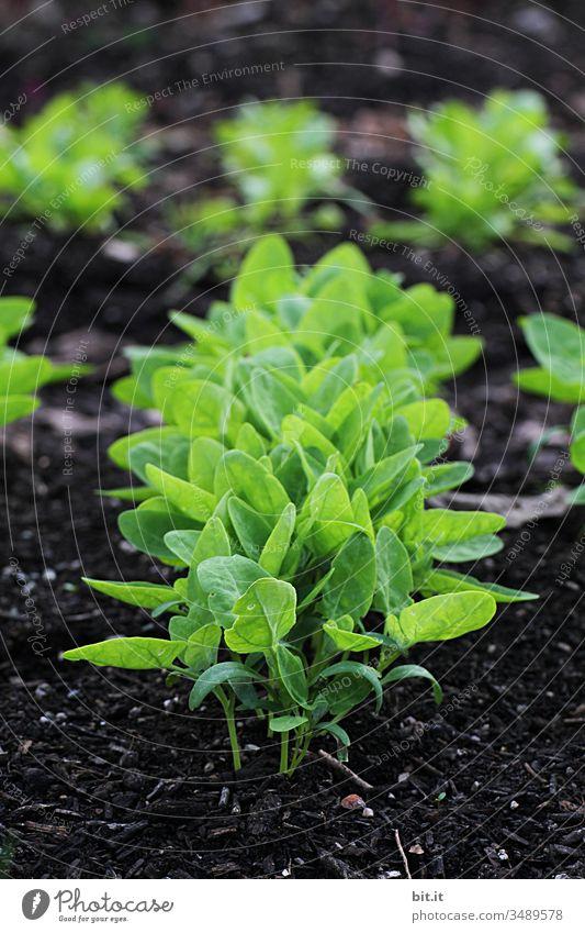 Junge Trieblinge im Blumenbeet Triebe Natur Pflanze grün Blatt Nahaufnahme Grünpflanze Schwache Tiefenschärfe Frühling frisch Wachstum natürlich Landwirtschaft