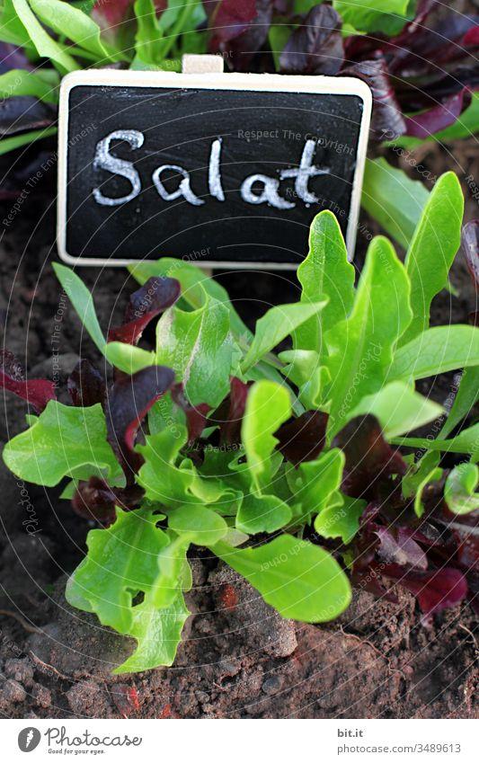 jetzt haben wir den Salat Ernährung grün Gemüse frisch Gesundheit Aussaat Bioprodukte Beet Garten Natur Pflanze natürlich Wachsen gedeihen Zucht Anzucht