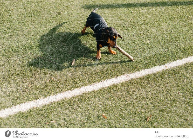 ein dackel spielt mit einem stock Hund Dackel Spielen Stock Stöckchen Tier Haustier niedlich Freude Tierliebe Rasen Fußballplatz Linie 1 Menschenleer Spaß