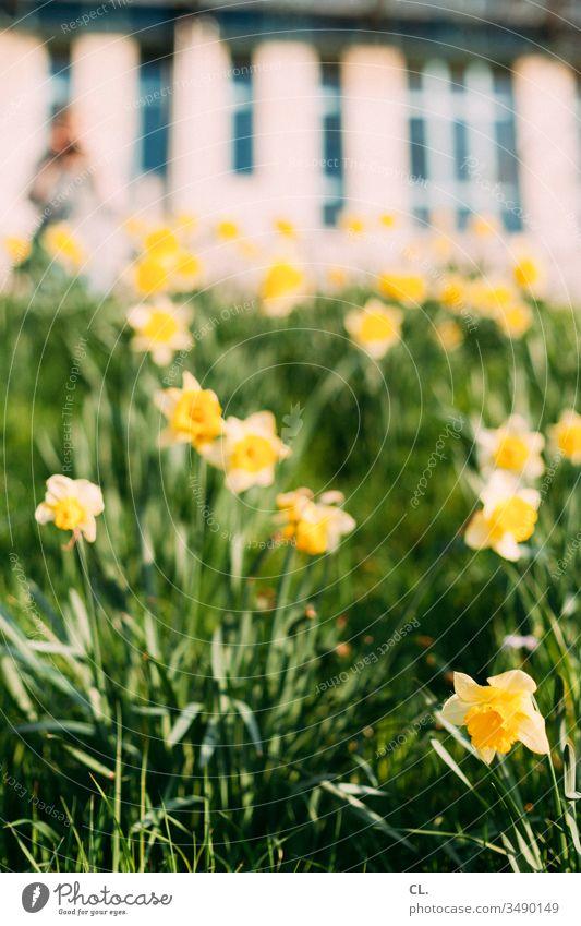 narzissen Blume Blumenwiese Narzissen Wiese gelb Gras Frühling Ostern Blüte grün Natur Pflanze Blühend Menschenleer Garten Tag Schwache Tiefenschärfe
