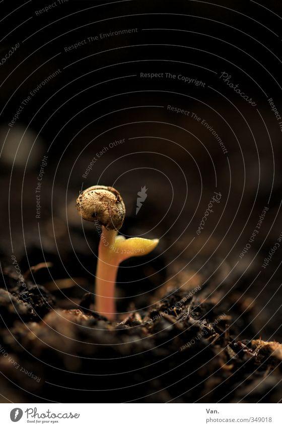 Wenn ich groß bin, werd' ich Kaktus! Natur Pflanze Erde Jungpflanze Samen Wachstum klein braun gelb sprießen Farbfoto Gedeckte Farben Innenaufnahme Nahaufnahme