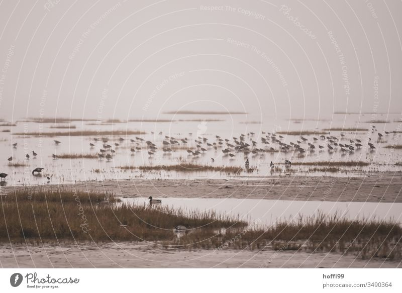 Seevögel im Wattenmeer Vogel Seevogel Wildtier Natur Möwe Federvieh Meeresvogel Wasser Möven Lachmöwe Schnabel Schwarm seevogel alpenstrandläufer Küste Insel
