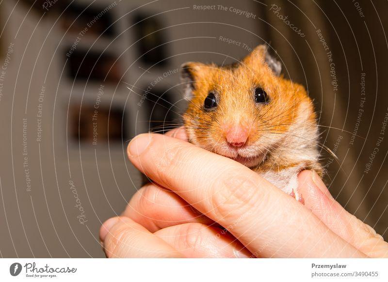 Süßer kleiner Hamster Nagetiere Tier niedlich lustig Natur Fell horizontal Porträt farbenfroh