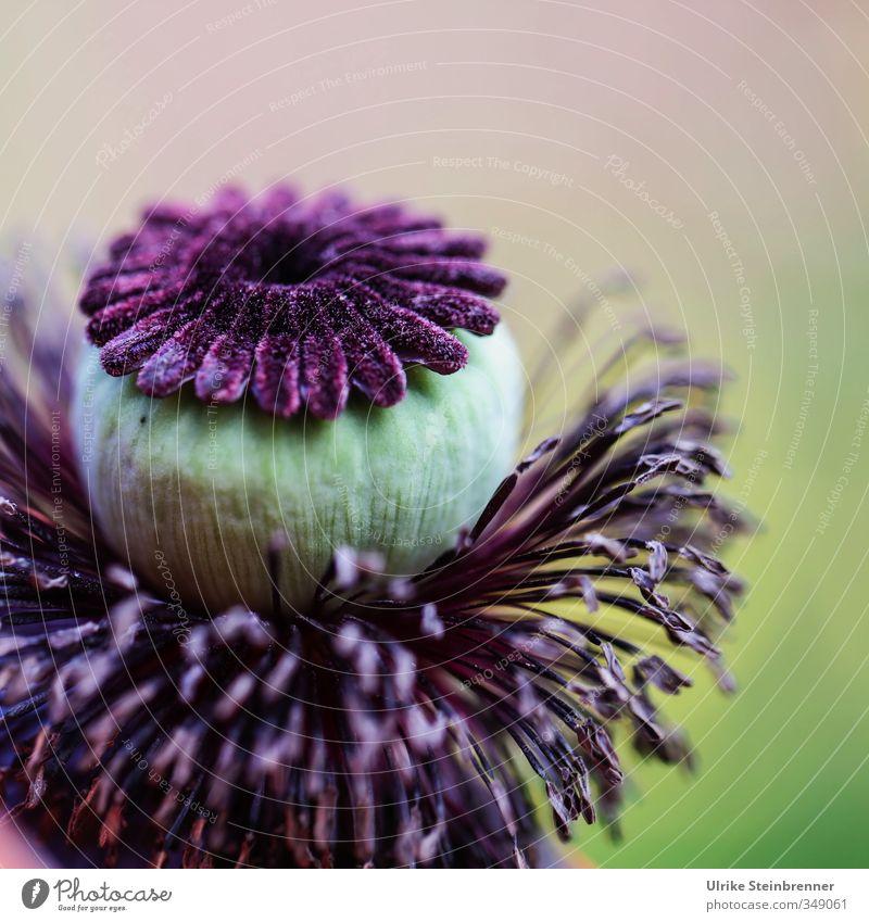 Kopf und Kragen Natur schön Pflanze Sommer Wiese Blüte Garten weich rund einzigartig Blühend violett Hut Mohn verblüht