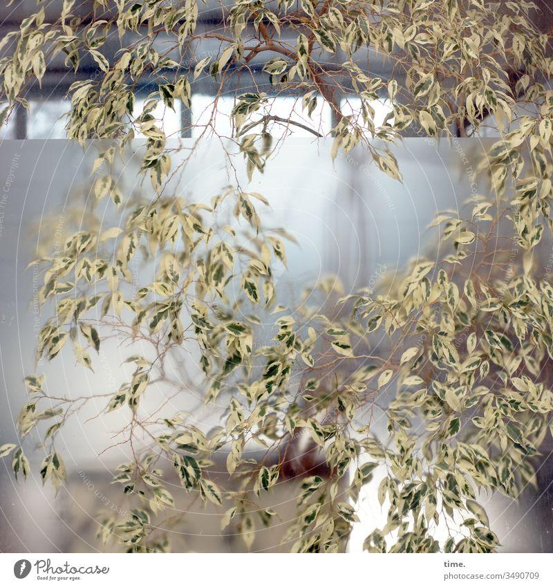 controlled nature fenster Zimmerpflanze Haus wachstum überwuchert unkontrolliert verwunschen überwachsen Natur nachhaltig durchblick Birkenfeige Ficus benjamina