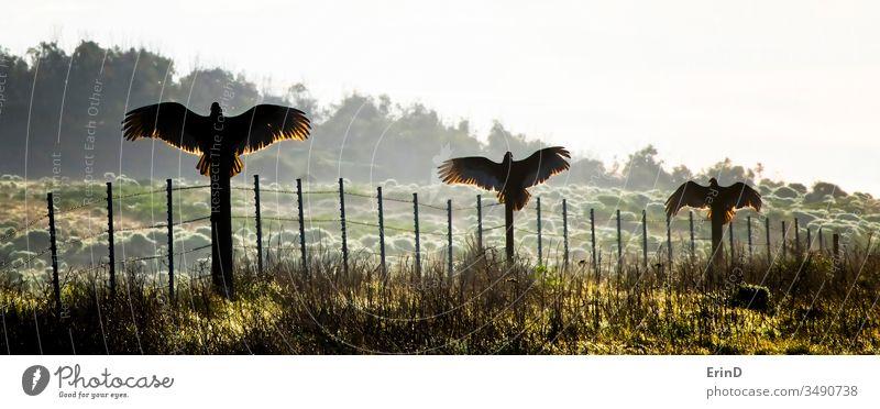 Drei Truthahngeier oder Bussarde breiten Flügel am Zaun aus Geier Truthahnbussard Kalifornien Morgen Licht Sonnenaufgang Silhouette Aufstrich Trio Vögel Vogel