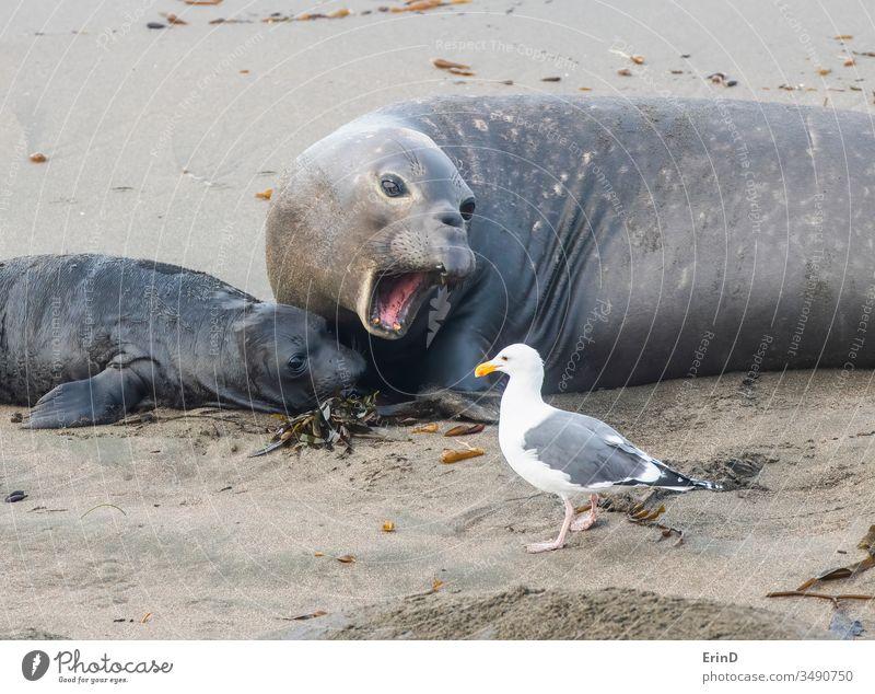 Nördliche Seeelefantenmutter mit Neugeborenen und Möwe Nördlicher Seeelefant Elefant Siegel Sturmmöwe Vogel Mutter neugeboren Geburt Tierwelt Strand Küste Tiere