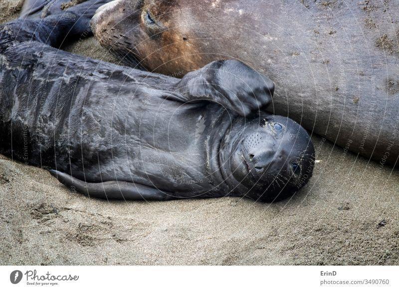 Neugeborener Nördlicher See-Elefantenrobbenwelpe schaut in die Kamera Nördlicher Seeelefant fiederspaltig neugeboren Saugrüssel Geburt aussruhen Strand Mutter