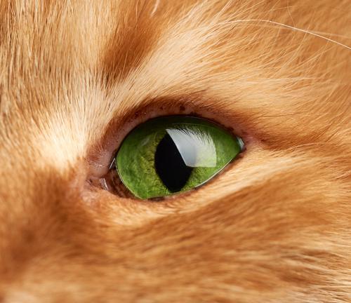 offenes grünes Auge einer roten Katze, Makro bezaubernd Erwachsener Tier Hintergrund braun Nahaufnahme niedlich Detailaufnahme heimisch Gesicht katzenhaft