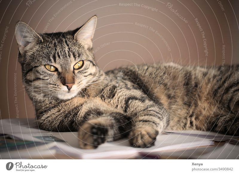 """Liegende Katze Haustier"""". Hauskatze Tierporträt 1 Farbfoto Menschenleer liegen Innenaufnahme Beobachtende Katze Fell Blick Tiergesicht Schwache Tiefenschärfe"""