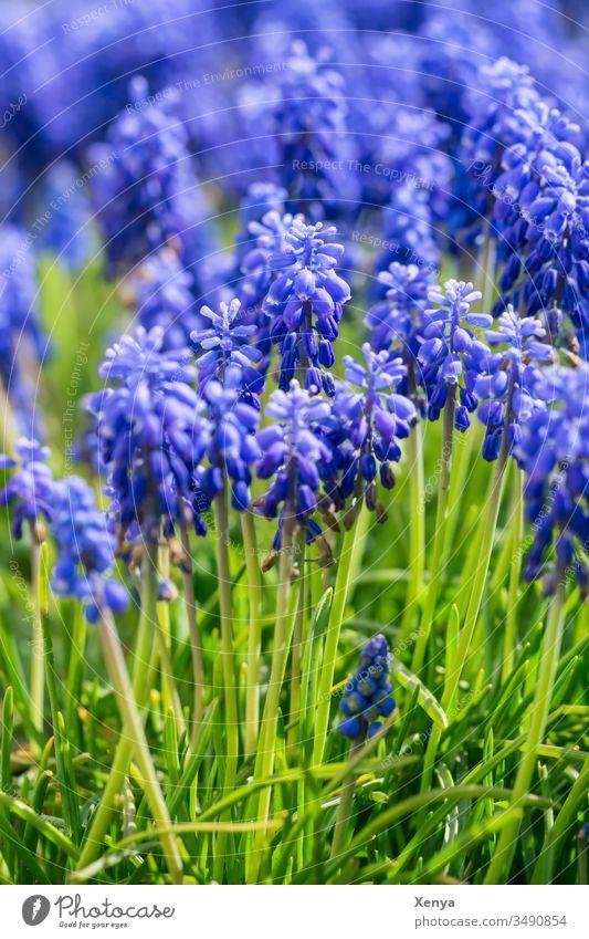 Traubenhyazinthen blau grün Gras Nahaufnahme Schwache Tiefenschärfe Sonnenlicht Menschenleer Frühling Natur Tag Blume Pflanze Farbfoto Frühlingsgefühle