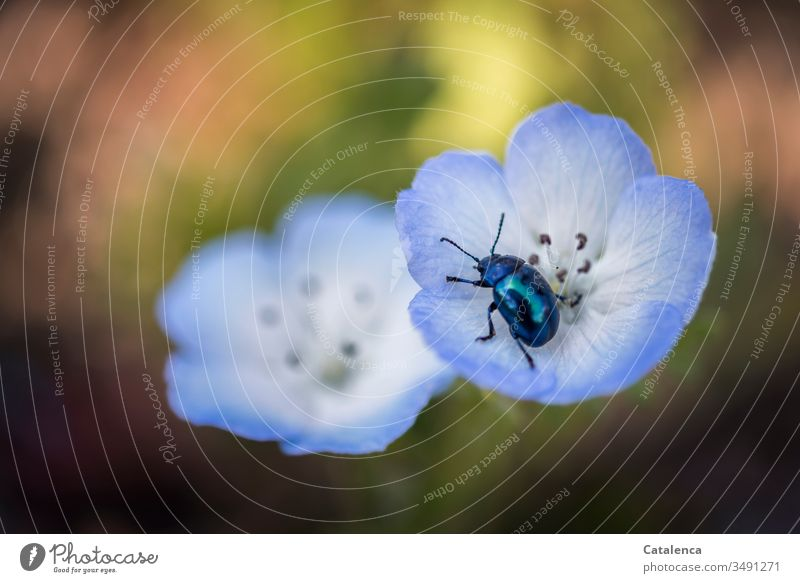 Ein Himmelblauer  Blattkäfer krabbelt in der blauen Mohnblüte umher Himmelblauer Blattkäfer blauer Mohn Garten Insekt Pflanze Frühling Blütenblatt Natur