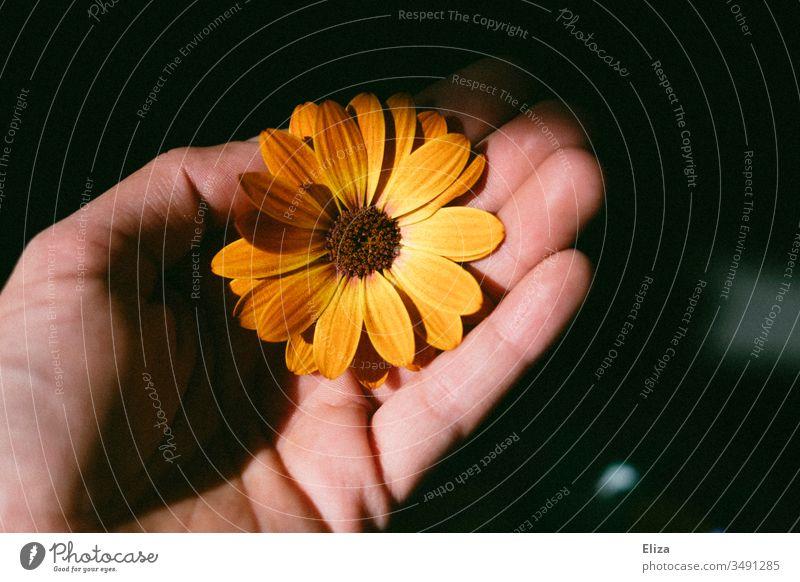 Ein Mensch der eine orangene Blüte Blume in der Hand hält; Kapkörbchen, Kapmargerite retro Geschenk geben Farbfoto Sonnenlicht pflücken Geburtstag schenken
