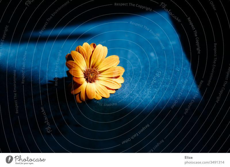 Eine orangene Blume im Sonnenlicht auf blauem Hintergrund; Osteospermum, Kapmargerite, Kapkörbchen kapmargerite Blüte Natur Pflanze Frühling Farbfoto