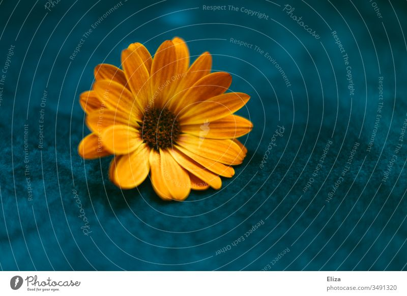 Eine orangene Blume auf blauem Hintergrund; Osteospermum, Kapmargerite, Kapkörbchen kapmargerite Blüte Natur Pflanze Frühling Farbfoto Nahaufnahme Menschenleer