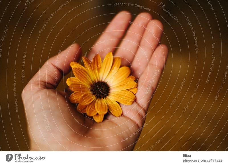 Ein Mensch der eine orangene Blüte Blume in der Hand hält; Kapkörbchen, Kapmargerite retro brauntöne Geschenk geben Farbfoto Geburtstag schenken Liebe Blühend