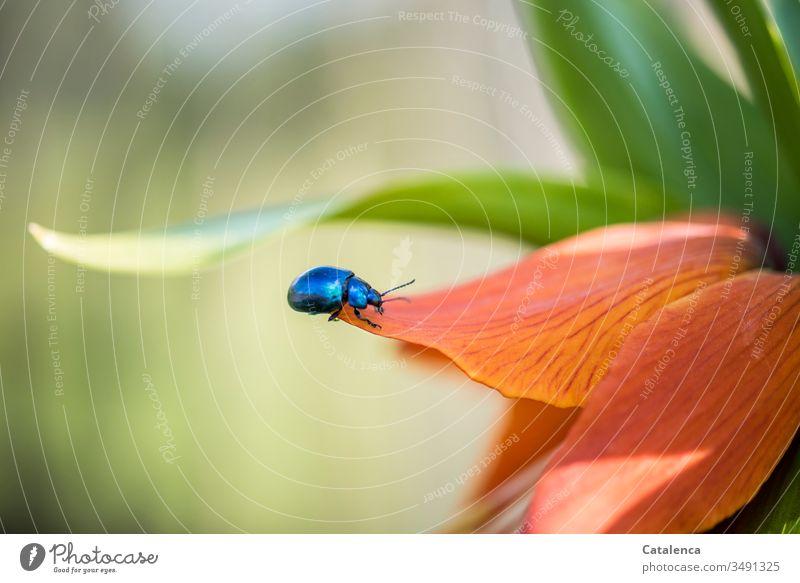 Ein blauer Blattschneider Käfer krabbelt auf dem Blütenblatt einer orangefarbenen Kaiserkrone herum Insekt Tier Blattschneiderkäfer Pflanze Liliengewächs Blau