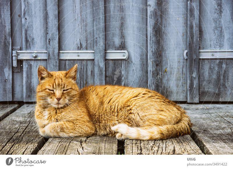 Dösende Hauskatze - Rothaarige, vor sich hindösende Hauskatze vor dem Tor eines ländlichen Gebäudes. Katze Stubentiger Haustier rothaarig ausruhen liegen Tier