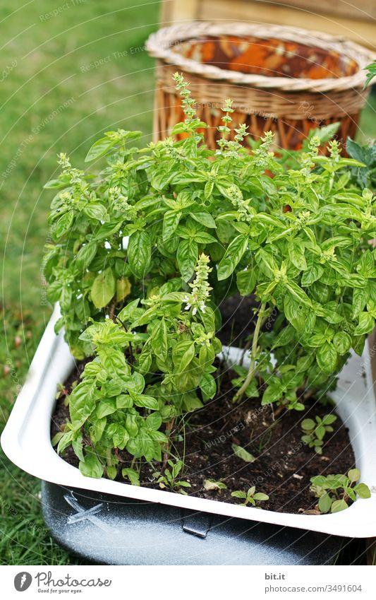 Frischer, gesunder Basilikum mit Blüten, wächst in einer alten, nostalgischen Wanne gepflanzt, draussen in der Natur im Garten. ausgeschossen Kräuter & Gewürze