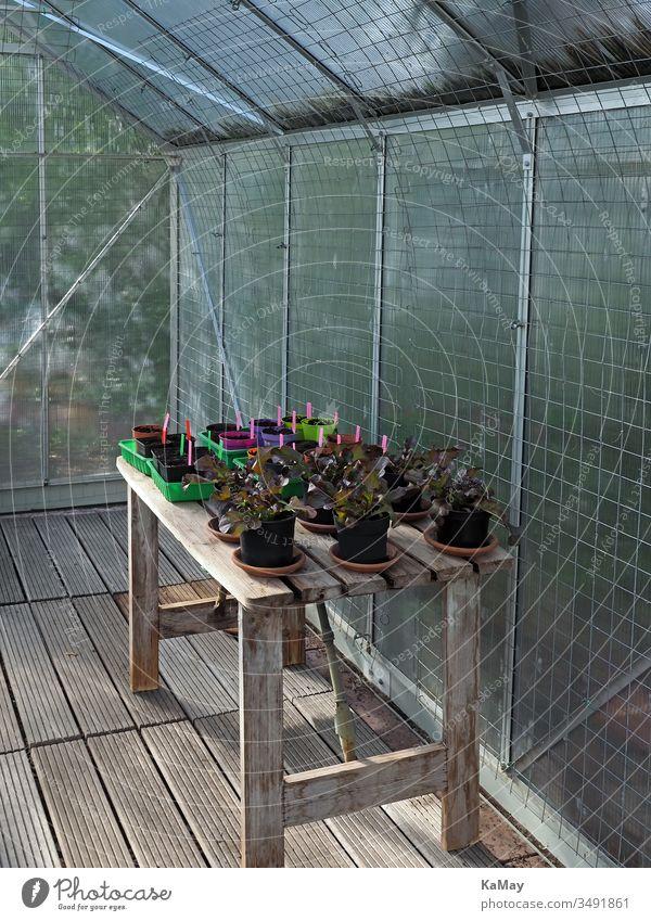 Gewächshaus von innen mit Salat und Jungpflanzen auf einem Holztisch Gärtnern Gemüse Setzlinge Pflanzen Frühling Sämlinge Selbstversorgung urban gardening