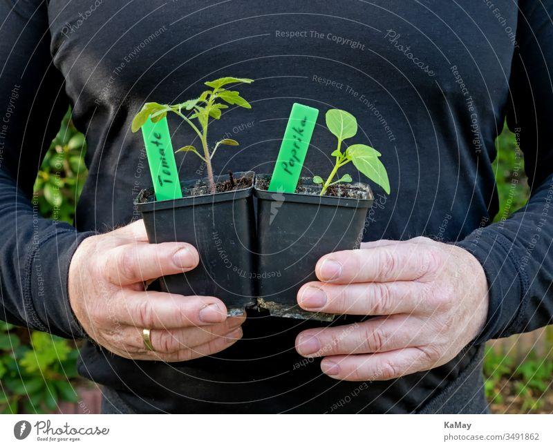 Zwei Männerhände halten einen Topf mit einer jungen Paprikapflanze und einen Topf mit einer jungen Tomatenpflanze Setzlinge Jungpflanzen Gemüse pikieren