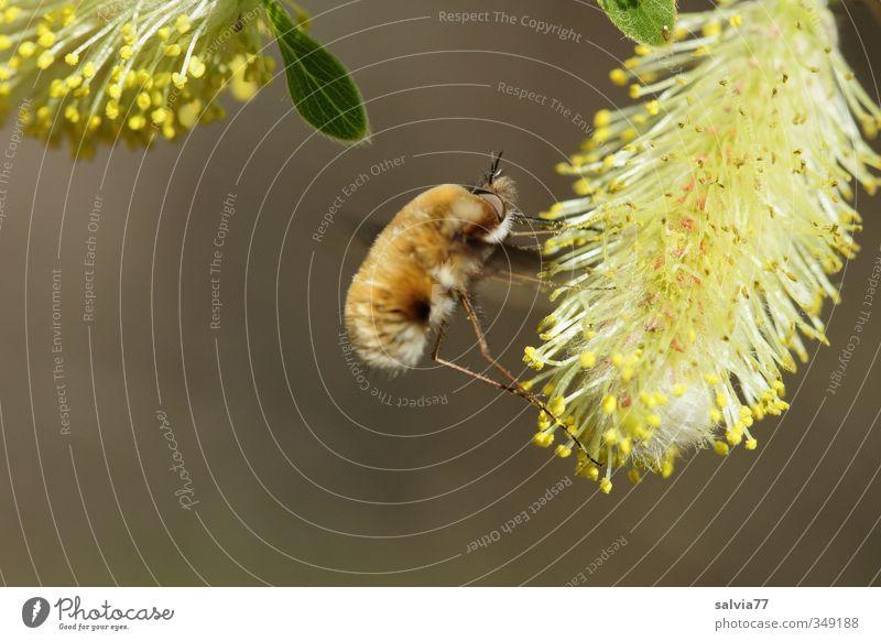 Wollschwebermahl Natur Tier gelb Frühling Blüte Essen braun fliegen Wildtier Fliege Schönes Wetter Flügel Blühend Insekt lecker Fressen